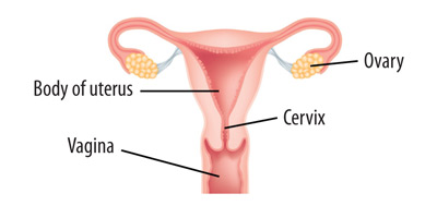 Diagram showing the uterus and cervix
